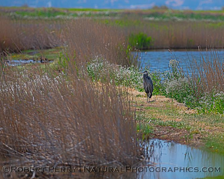 Great blue heron on wetlands islet.