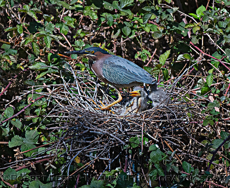 Adult with two green heron chicks in nest.