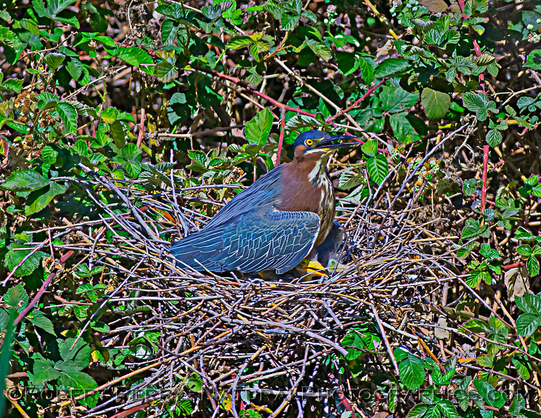 Adult green heron with 2 chicks.