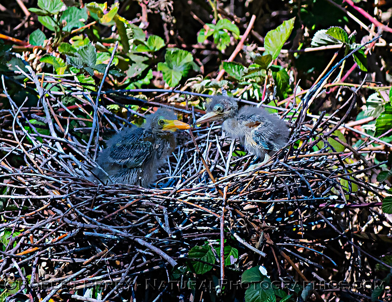 Two green heron chicks in nest.