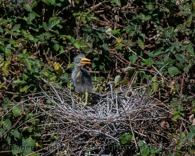 Sole surviving green heron chick in its nest.