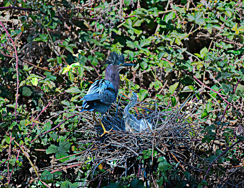 Adult green heron with 2 chicks. One is soliciting food.