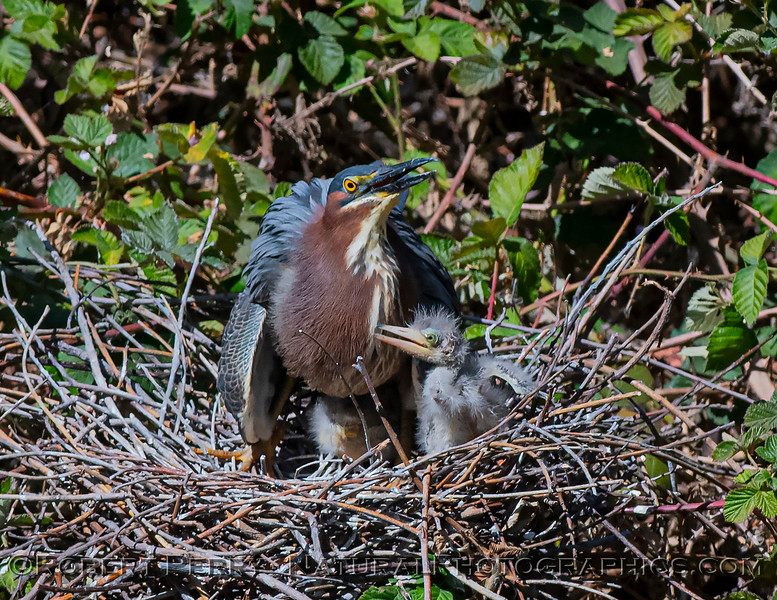 Adult green heron with 2 chicks in nest.