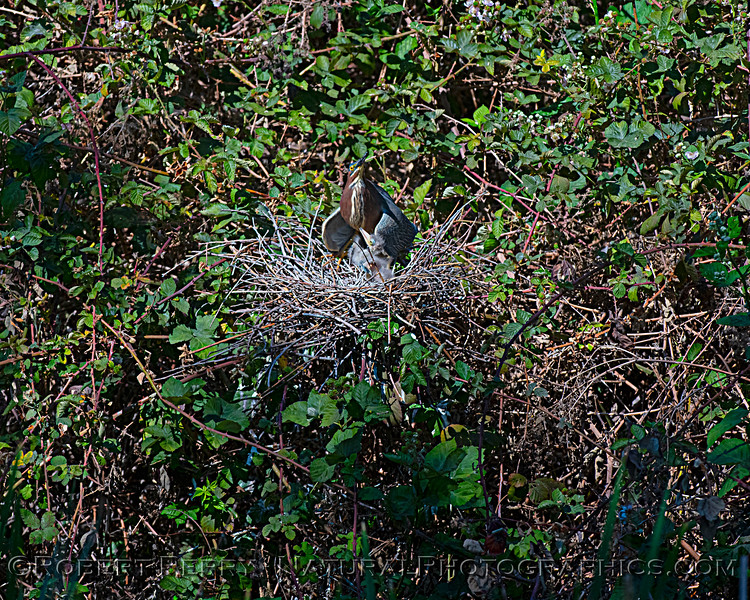 Adult with one green heron chick in nest.