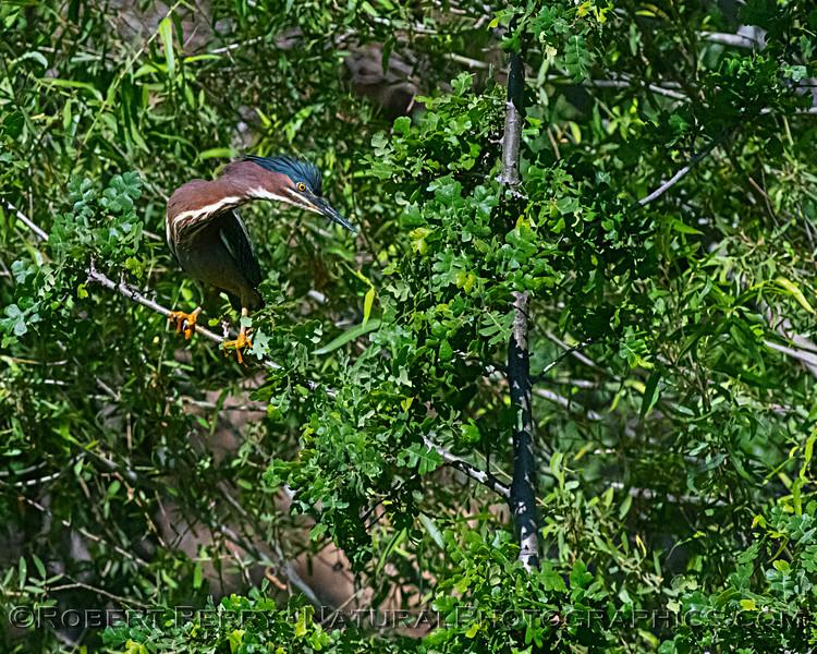 Adult green heron.