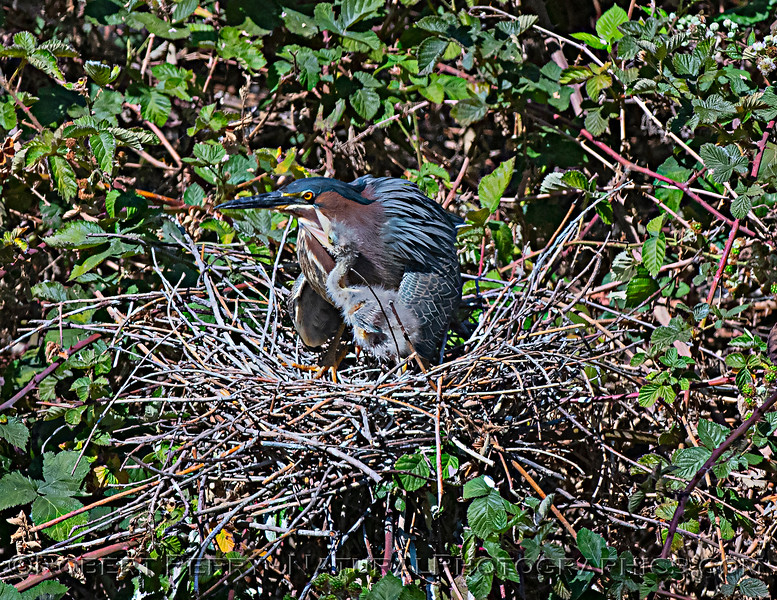 Green heron chick solicits food from adult.