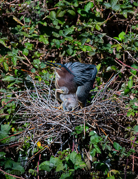 Green heron chick with adult.