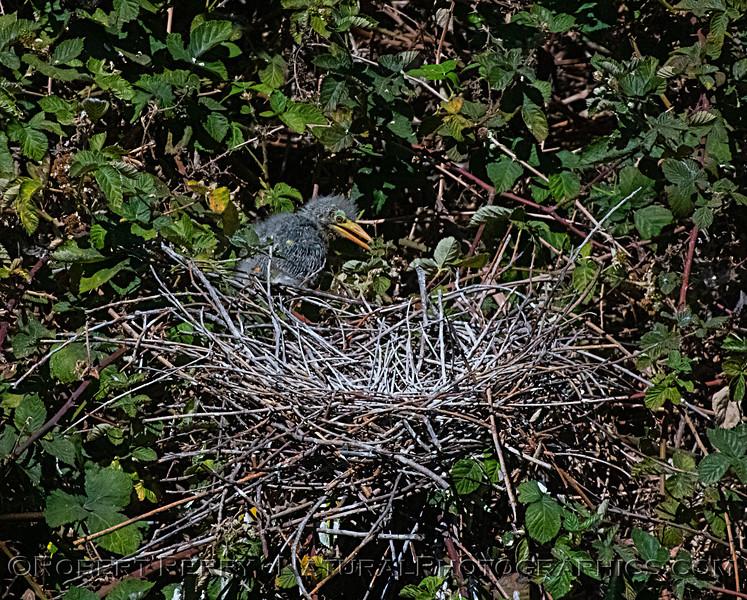 Green heron chick leaves nest to explore surrounding blackberry bush.