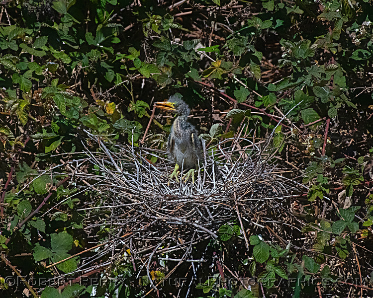 Solo hungry chick remains in nest area.