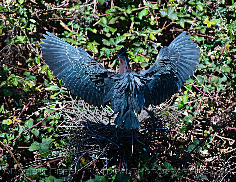 Adult green heron lands on nest.