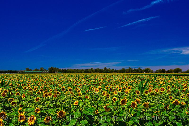 Helianthus californicus Sunflowers Helianthus californicus 2021 06-11 Davis--013
