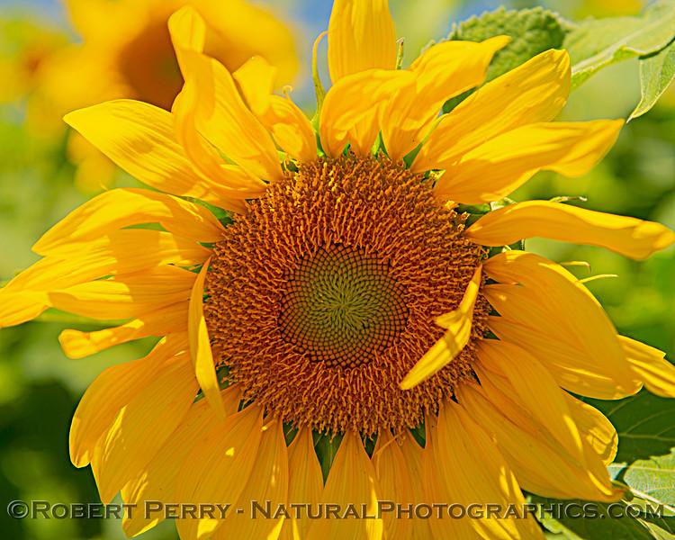 Helianthus californicus Sunflowers Helianthus californicus 2021 06-11 Davis--031