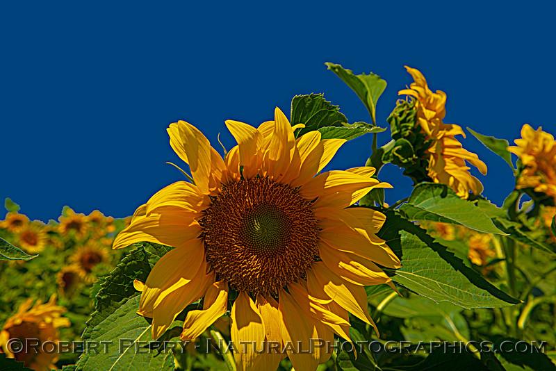 Helianthus californicus Sunflowers Helianthus californicus 2021 06-11 Davis--079