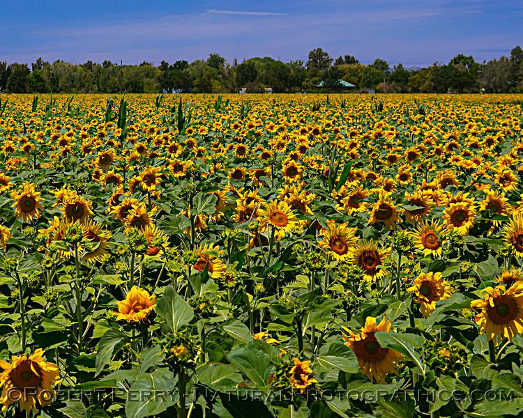 Helianthus californicus Sunflowers Helianthus californicus 2021 06-11 Davis--005