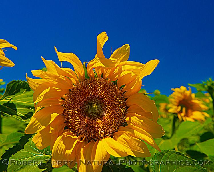 Helianthus californicus Sunflowers Helianthus californicus 2021 06-11 Davis--034