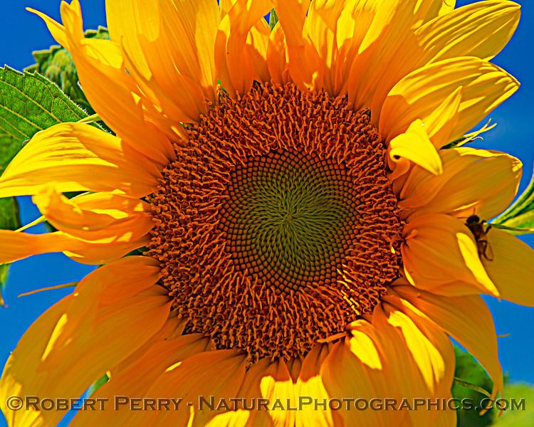 Helianthus californicus Sunflowers Helianthus californicus 2021 06-11 Davis--043