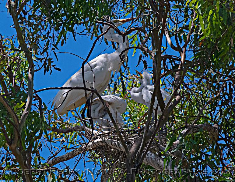Ardea alba nesting site 2021 06-15 Yolo Cnty--402