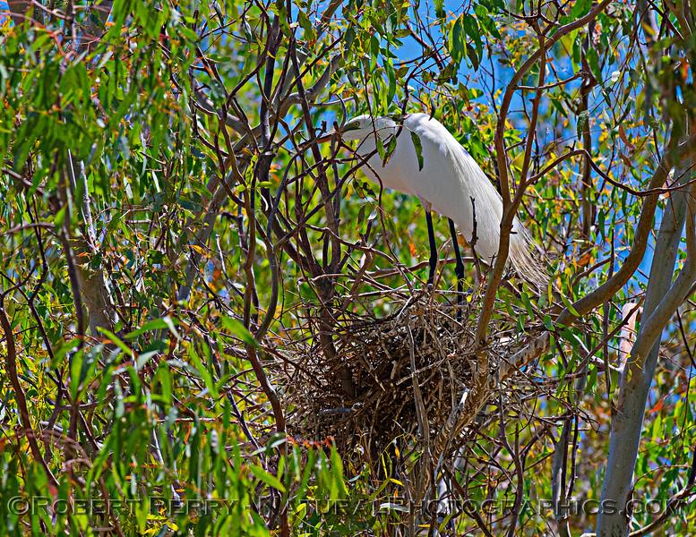 Ardea alba nesting site 2021 06-15 Yolo Cnty--037