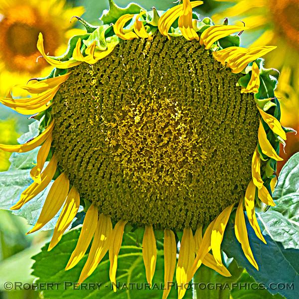 Helianthus californicus Sunflowers 2021 06-15 Yolo Cnty--002