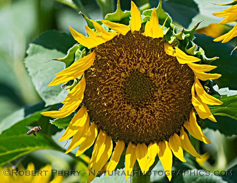 Helianthus californicus Sunflowers 2021 06-15 Yolo Cnty--003