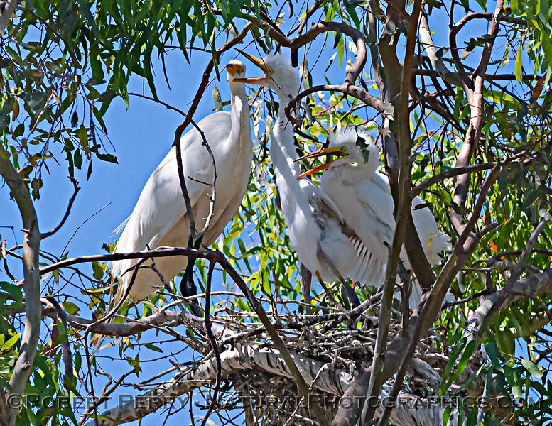Ardea alba nesting site 2021 06-15 Yolo Cnty--377