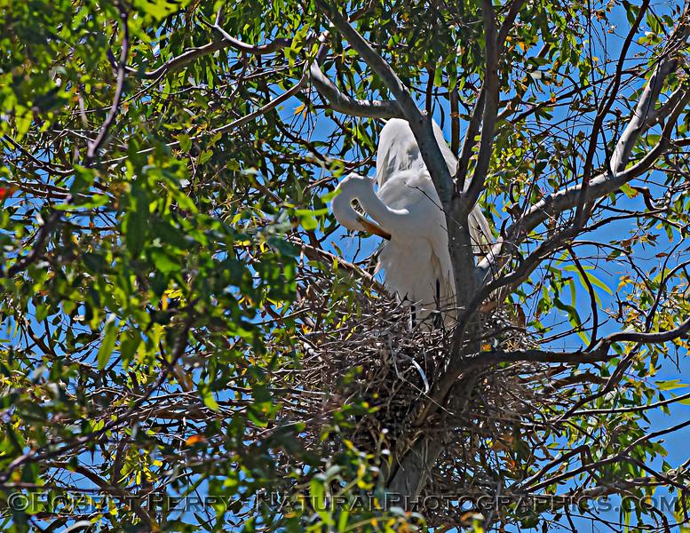 Ardea alba nesting site 2021 06-15 Yolo Cnty--491