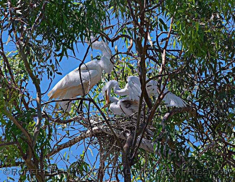 Ardea alba nesting site 2021 06-15 Yolo Cnty--395