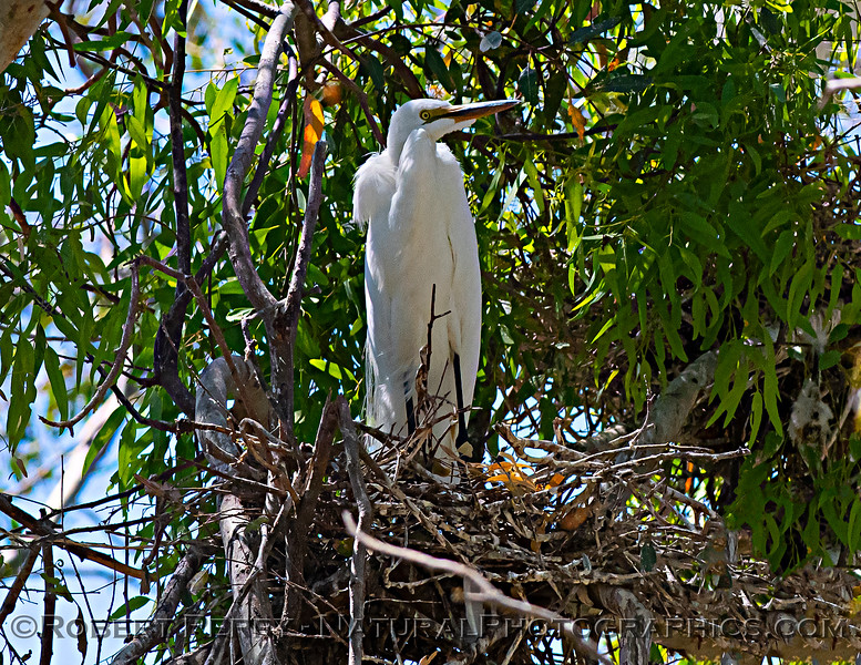 Ardea alba nesting site 2021 06-15 Yolo Cnty--210