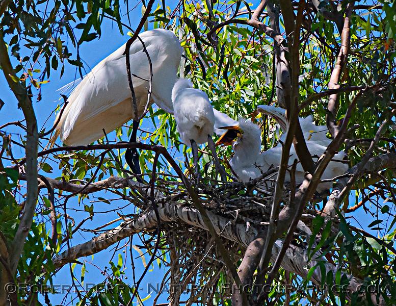 Ardea alba nesting site 2021 06-15 Yolo Cnty--314