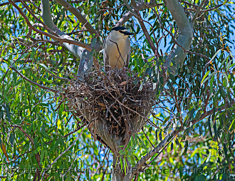 Nycticorax nycticorax nesting site 2021 06-15 Yolo Cnty-c-011