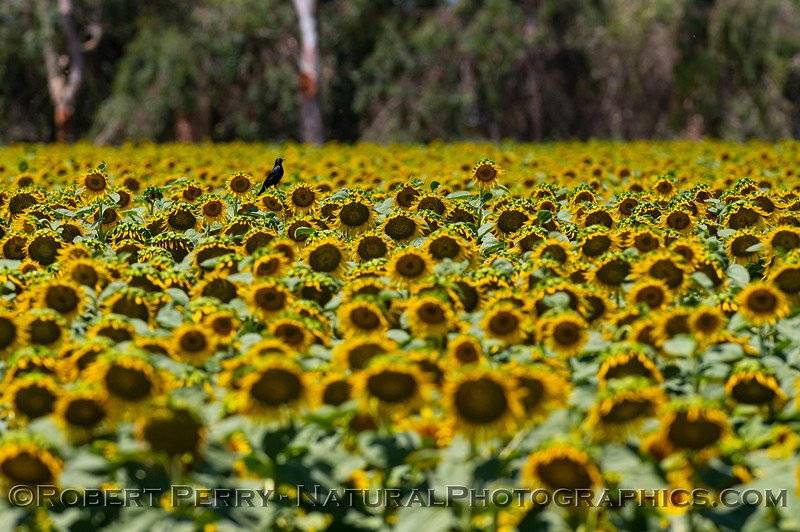 Helianthus californicus Sunflowers with Agelaius phoeniceus 2021 06-15 Yolo Cnty-b-024