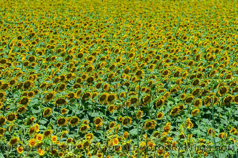 Helianthus californicus Sunflowers 2021 06-15 Yolo Cnty-z-001