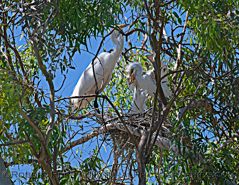 Ardea alba nesting site 2021 06-15 Yolo Cnty--373