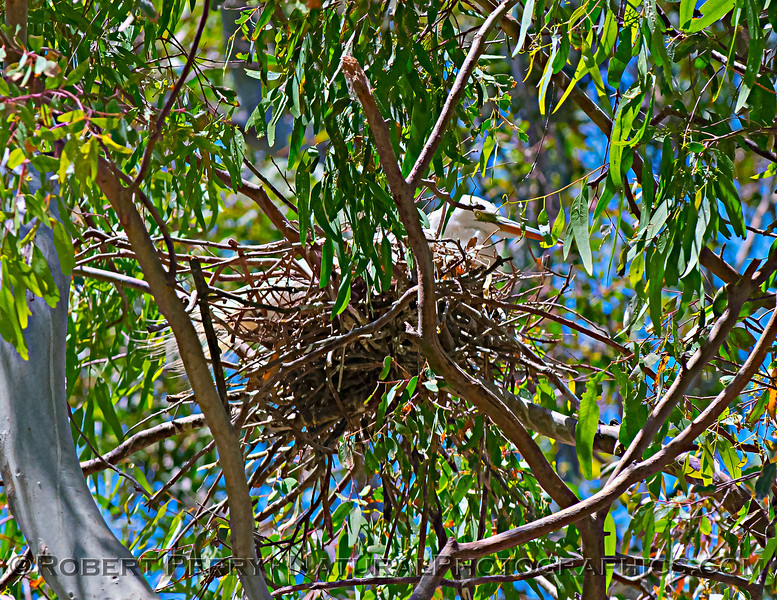 Ardea alba nesting site 2021 06-15 Yolo Cnty--175