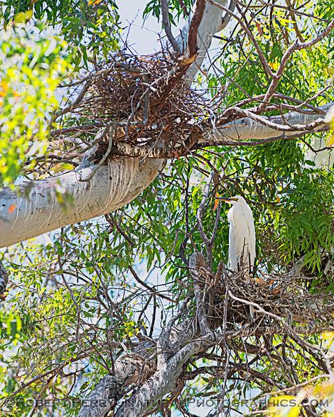 Ardea alba nesting site 2021 06-15 Yolo Cnty--199