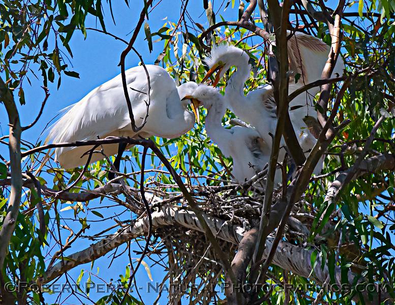 Ardea alba nesting site 2021 06-15 Yolo Cnty--384