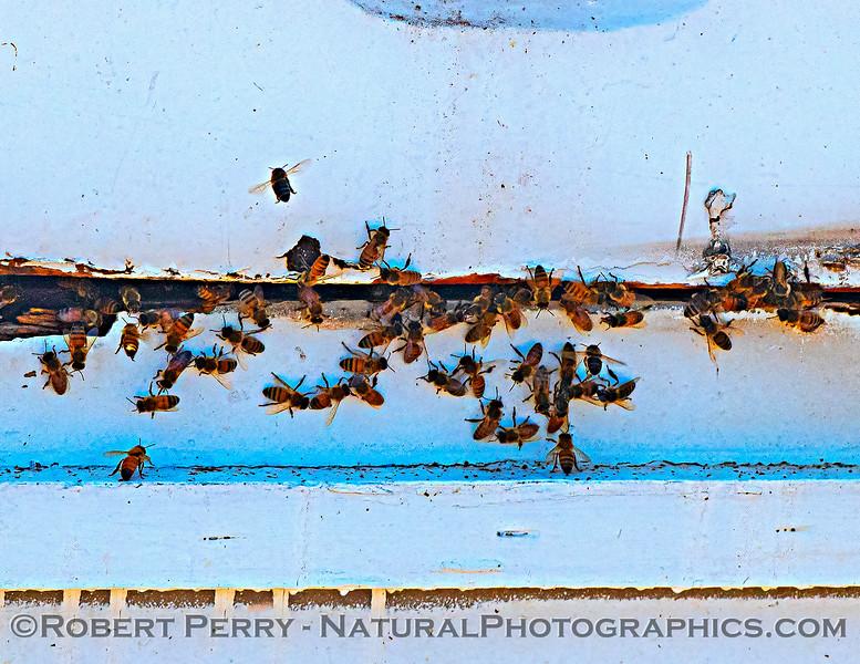 Apis mellifera Honey bees apiary 2021 06-15 Yolo Cnty--016