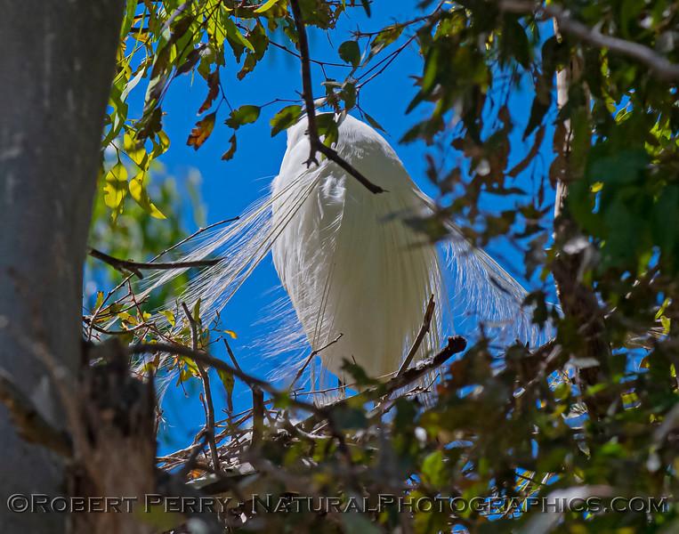 Ardea alba nesting site 2021 06-15 Yolo Cnty--160