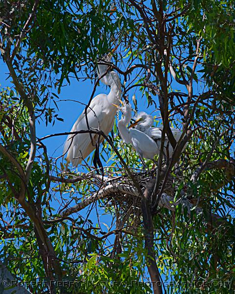 Ardea alba nesting site 2021 06-15 Yolo Cnty--444