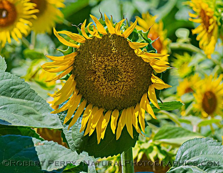 Helianthus californicus Sunflowers 2021 06-15 Yolo Cnty--027