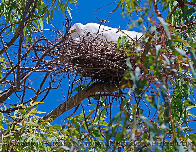 Ardea alba nesting site 2021 06-15 Yolo Cnty--134