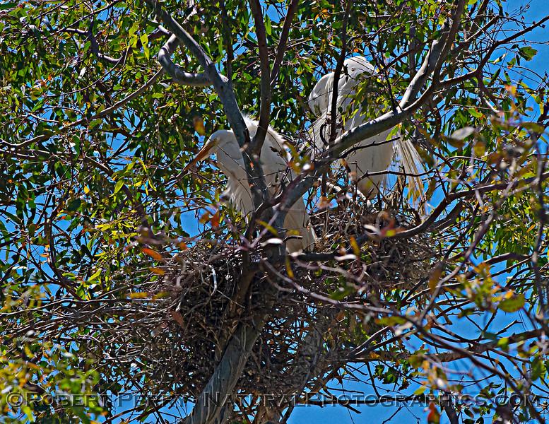 Ardea alba nesting site 2021 06-15 Yolo Cnty--195