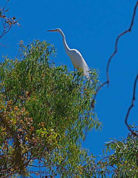 Ardea alba nesting site 2021 06-15 Yolo Cnty--013
