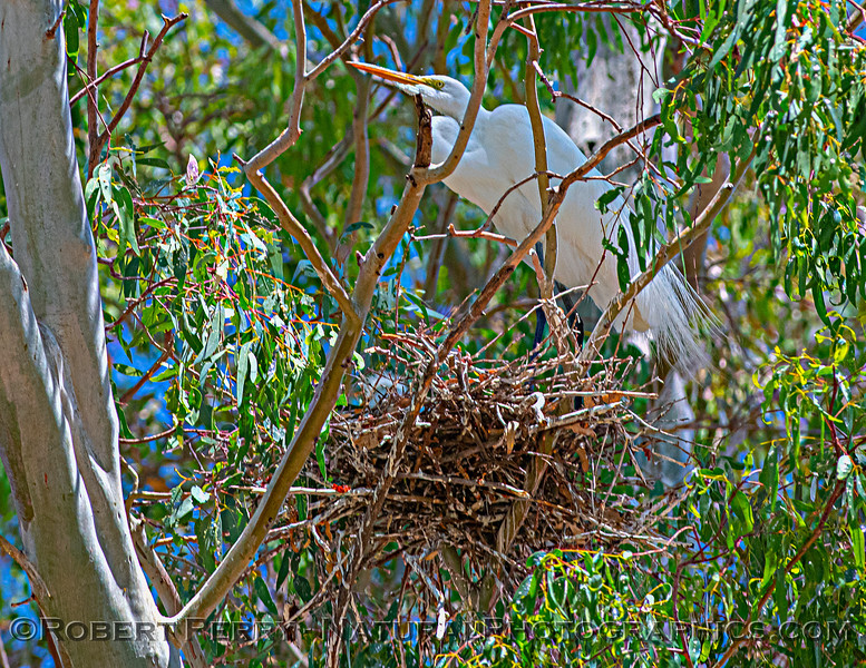 Ardea alba nesting site 2021 06-15 Yolo Cnty--129