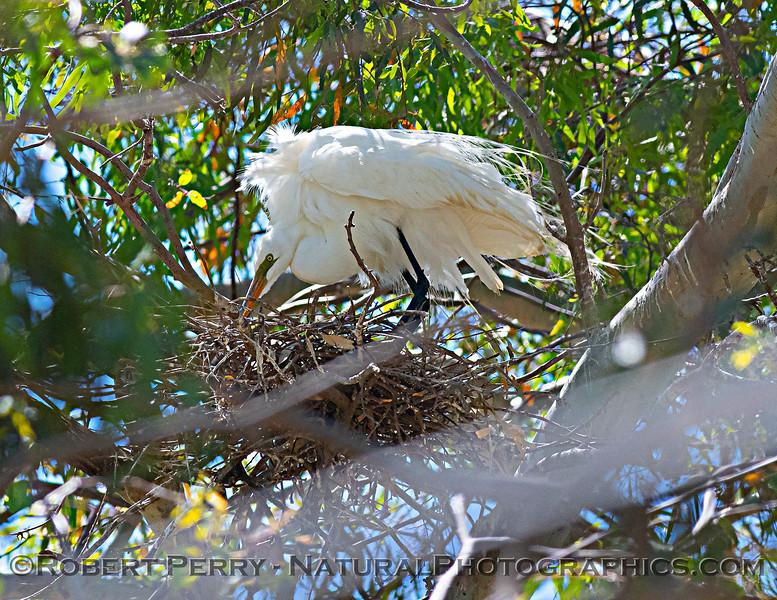 Ardea alba nesting site 2021 06-15 Yolo Cnty--168