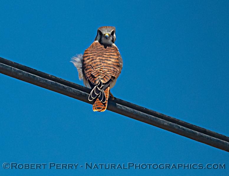 Falco sparverius on wire 2021 06-15 Yolo Cnty--009
