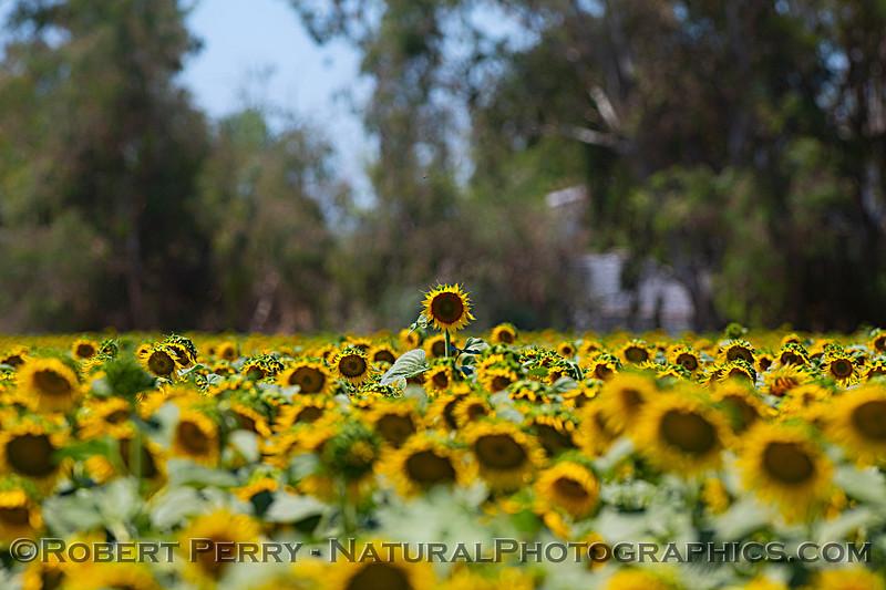 Helianthus californicus Sunflowers 2021 06-15 Yolo Cnty-b-013