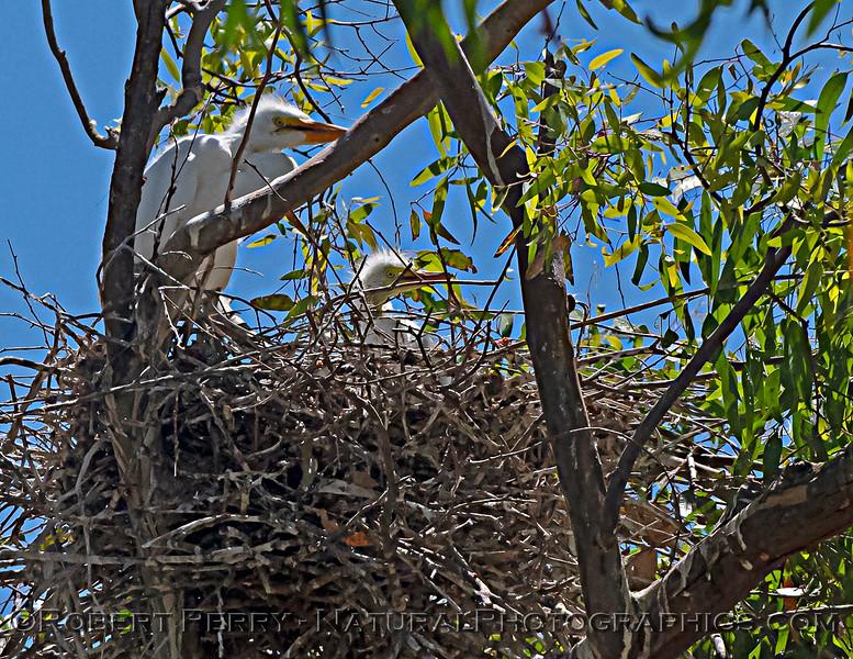 Ardea alba nesting site 2021 06-15 Yolo Cnty-b-024