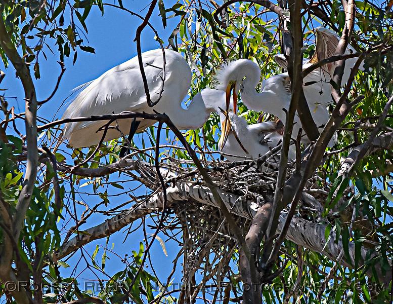 Ardea alba nesting site 2021 06-15 Yolo Cnty--385