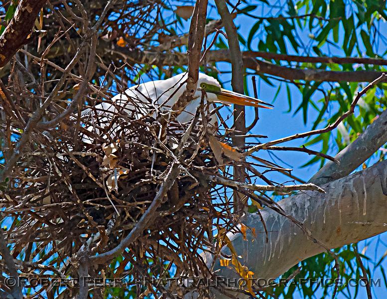 Ardea alba nesting site 2021 06-15 Yolo Cnty--211